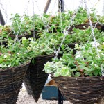The Walled Garden - Hanging Baskets