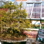 Bonsai Tree at The Walled Garden
